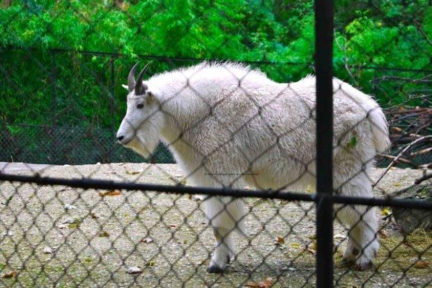 Rocky mountain goat menagerie zoo le jardin des plantes - Zoo jardin des plantes ...