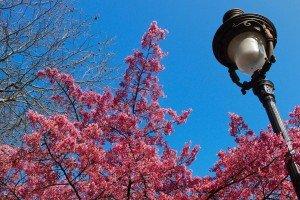 Spring cherry tree in Paris