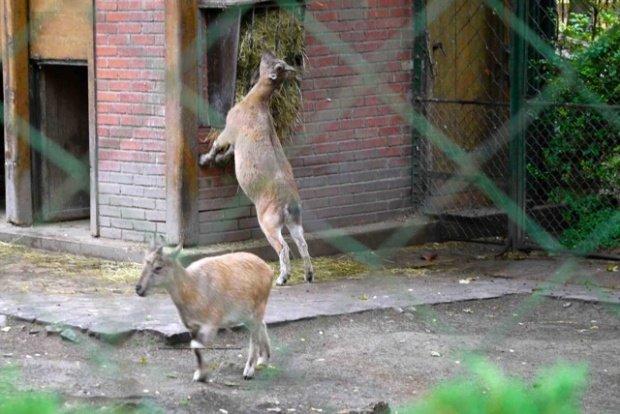 Bharal blue sheep menagerie zoo le jardin des plantes paris colleen 39 s paris - Zoo de paris jardin des plantes ...